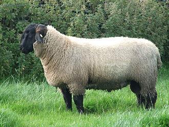 Suffolk sheep - A 7-month-old Suffolk ram