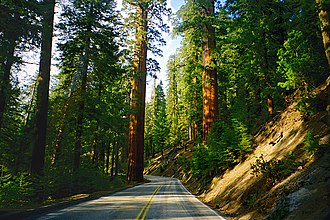 Sequoiadendron giganteum - The Generals Highway passes between giant sequoias in Sequoia National Park