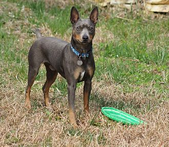 American Hairless Terrier - American Hairless Terrier blue tri coated male with frisbee