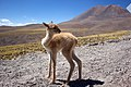 ALMA Workers Rescue Abandoned Vicuña Fawn (13073074403).jpg
