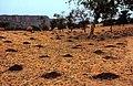 ASC Leiden - W.E.A. van Beek Collection - Dogon agriculture 06 - A millet field awaiting the rain, Tireli, Mali 1980.jpg