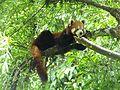 A Red Panda.jpg