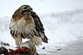 A Red Tail Hawk -a.jpg