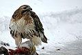 A Red Tail Hawk -a.jpg