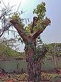 A Relocated Peepul Tree in Visakhapatnam.jpg