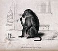 A baboon sitting on the ground with a smoking pipe and Wellcome V0019093.jpg