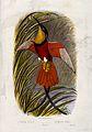 A crimson topaz bird (Topaza pella). Colour lithograph, ca. Wellcome V0022183.jpg