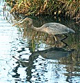A great blue heron prepares to go in for the kill (22236044873).jpg