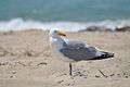 A herring gull at the Nantucket National Wildlife Refuge, MA. Credit- Amanda Boyd-USFWS (5975057056).jpg