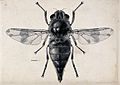 A horse botfly (Gasterophilus intestinalis). Pen and ink dra Wellcome V0022577.jpg