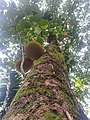 A jack tree in sri lanka at rathnapura..jpg