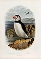 A puffin (Fratercula arctica). Colour lithograph, ca. 1875. Wellcome V0022180ER.jpg