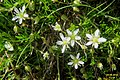 A saxifrage ? (Gru) (31120259134).jpg