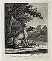 A wire-haired and a straight-haired greyhound resting on a f Wellcome V0021039EL.jpg