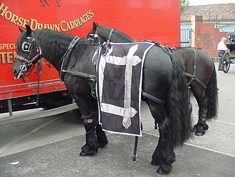"Friesian horse - Friesian horses are sometimes referred to as ""Belgian Blacks"""