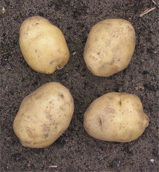 Bestand:Aardappel 'Parel' (Solanum tuberosum).jpg