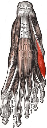 Abductor digiti minimi (foot).png
