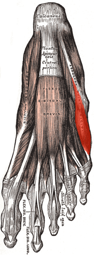 Abductor digiti minimi muscle of foot - First layer of the muscles of the sole (abductor digiti minimi visible at center right).
