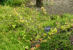 Abeliophyllum - Image: Abeliophyllum distichum