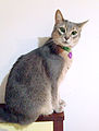 Abssinian Blue 5 years old.jpg