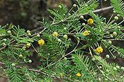 Acacia-aroma.jpg