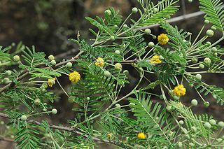 <i>Vachellia aroma</i> species of plant