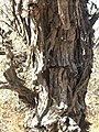 Acacia haematoxylon01.jpg
