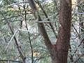 Acacia nebrownii Fish River IMG 8469.JPG