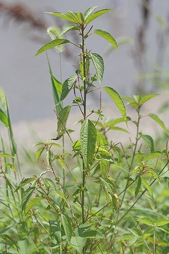 Acalypha australis - Image: Acalypha australis 5