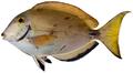 Acanthurus bahianus - pone.0010676.g182.png