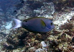 Thompson's surgeonfish (Acanthurus thompsoni)