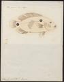 Acara bimaculata - 1774-1804 - Print - Iconographia Zoologica - Special Collections University of Amsterdam - UBA01 IZ14000081.tif