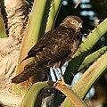 Accipiter at Broome.jpg