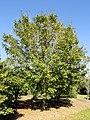 Acer miyabei - J. C. Raulston Arboretum - DSC06163.JPG