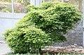 Acer palmatum Yatsubusa Kojohime 2zz.jpg