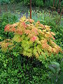 Acer shirasawanum Autumn Moon.jpg