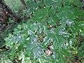 Acer sp. familija Sapindaceae 05.jpg