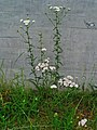 Achillea millefolium 001.JPG