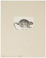 Acomys cahirinus - 1700-1880 - Print - Iconographia Zoologica - Special Collections University of Amsterdam - UBA01 IZ20500101.tif
