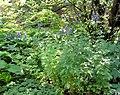 Aconitum napellus plant (20).jpg