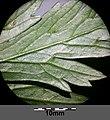 Aconitum variegatum subsp. variegatum sl18.jpg