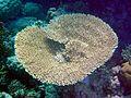 Acropora parapharaonis.jpg