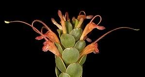 Adenanthos obovatus - Flickr - Kevin Thiele (1).jpg
