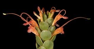 <i>Adenanthos obovatus</i> A shrub of the plant family Proteaceae endemic to Southwest Australia