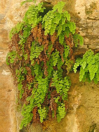 Adiantum capillus-veneris - In limestone cliff seep habitat, Judean Desert, Israel.