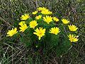 Adonis vernalis sl3.jpg
