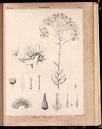 Aeonium haworthii Phyt.Canar.1