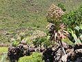 Aeonium urbicum Tenerife 1.jpg