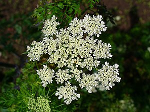 Aethusa cynapium - Inflorescence of fool's parsley
