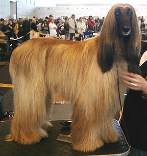 Afghan Hound - Afghan Hound, fully coated